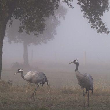 Las grullas (Grus grus), son aves zancudas propias del norte de Europa, pero vienen a pasar el invierno al centro de España para alimentarse de las bellotas de la Encina