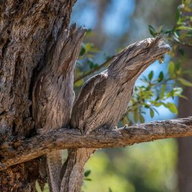 A pair of Tawny Frogmouths in bushland of Lake Joondalup