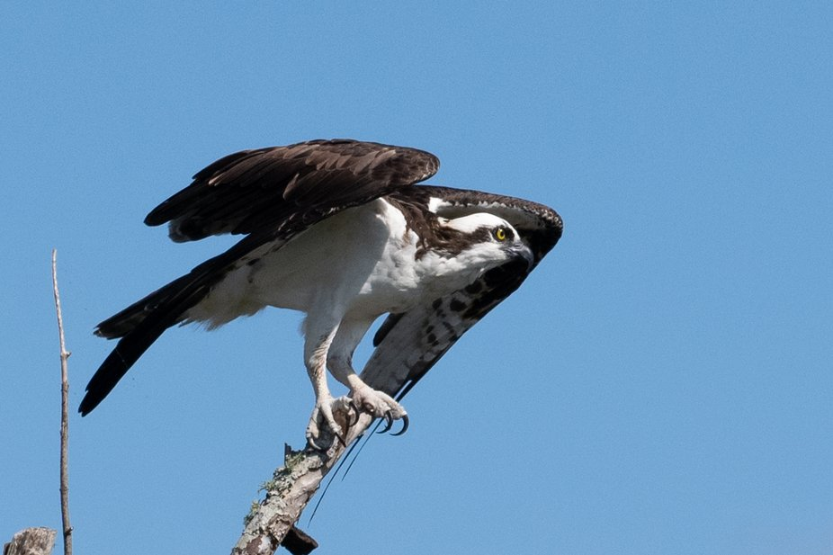 Lake Apopka Wilderness Trail is a premiere bird viewing area with many species available.  The Os...