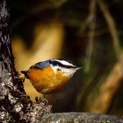 Red-breasted Nuthatches are a welcome migrant this season.  #trailsend #birding #birdwatching #birdphotography #outthebackdoor #backyardnature #canon_photos #canonphotography #pocket_birds #raw_birds #best_birds_of_world #bird_brilliance #best_birds_of_ig