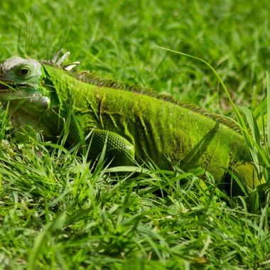 One of the local iguanas grazing