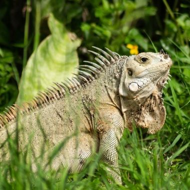 The big daddy iguana from the grden