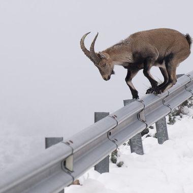 Carretera de montaña con nieve. Habitat de la Cabra montesa (Capra pyrenaica victoriae), salvando la proteccion de la carretera.