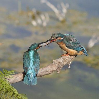 Pareja de Martines pescadores (Alcedo athis), en epoca de celo o reproduccion en la que el macho (derecha), pesca para la hembra, para facilitar la posterior copula o apareamiento.
