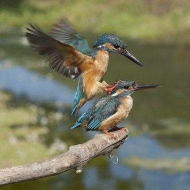 Instante previo a la copula o apareamiento de esta pareja de Martines pescadores (Alcedo Athis).
