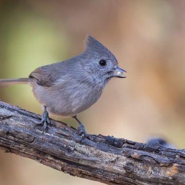 """As plain as a bird can be"" is how Audubon describes this bird."