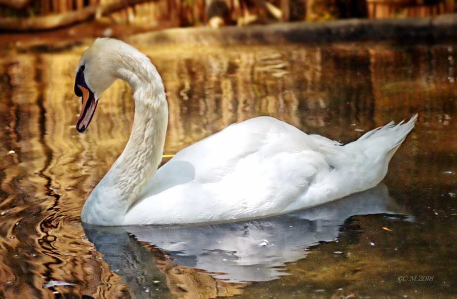 Shot of a graceful swan with Autumn golden color gracing the backround.