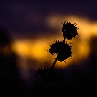 Motherwort with the last light of the sunset.  #trailsend #motherwort #sunset #lastlight #wildflowers #wildflowerphotography #sunsetphotography #outthebackdoor #backyardnature #canon_photos #canonphotography #got_greatshots #ig_eternity #sunset_vision #sh