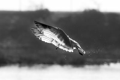 Hunting Gull