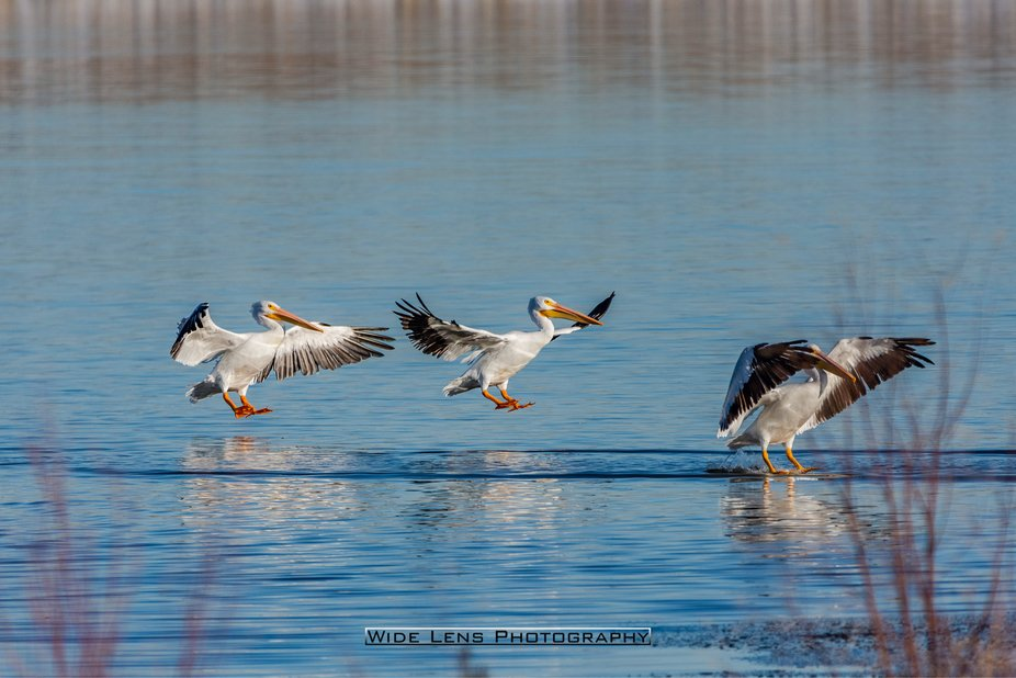 The Three Kings. Pelicans landing on a cold winter's morning