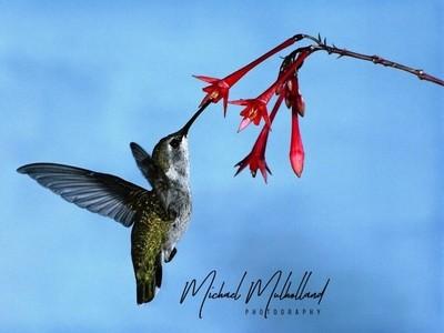 Hummingbird Pollensting
