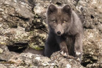 Eyes of the arctic fox