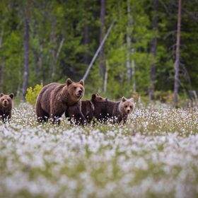 Brown Bear mother with cubs, Finland, 3 June 2018