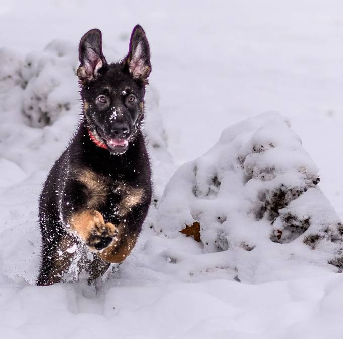 Pups first snow storm by jeannieseevers - Dogs In Action Photo Contest