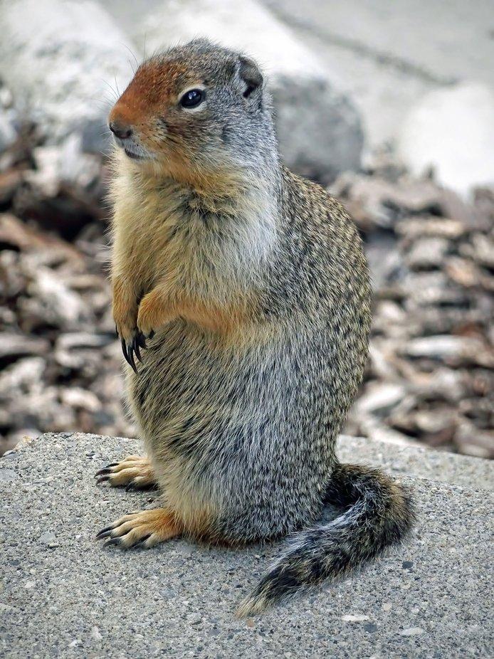 Marmot (1)