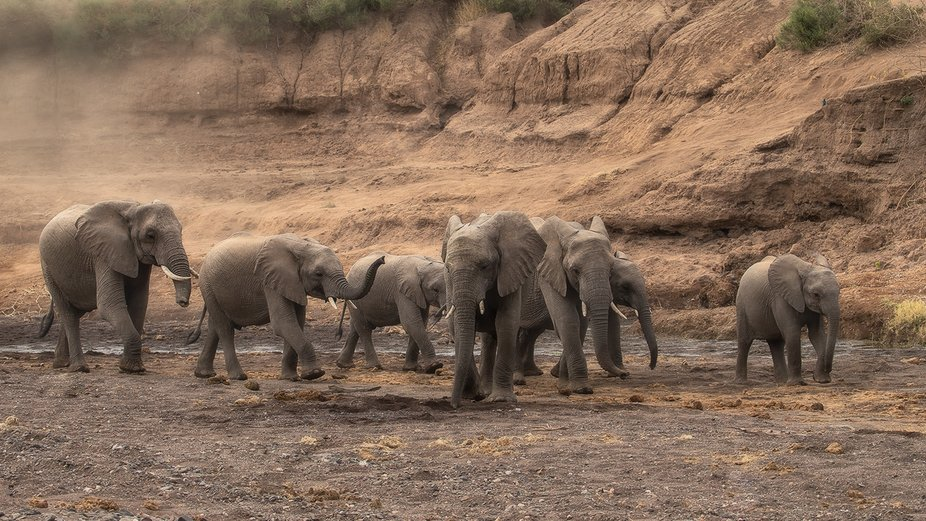 a herd of elephants on their way to the waterhole