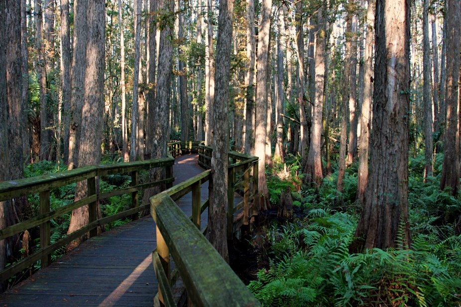 One of the wooden boardwalks leading through the Cypress Swamp trail, in Highlands Hammock State ...
