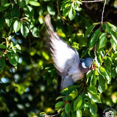 pigeon - 7268
