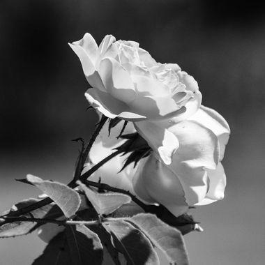rose bw - 9586