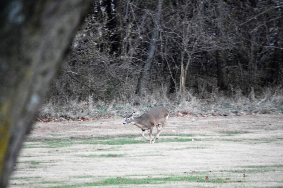Young doe racing away from an interested and amorous buck.