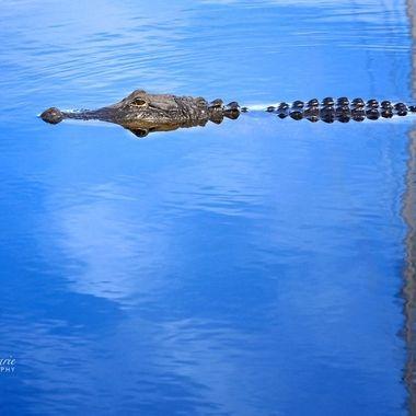Gator at Lake Monroe