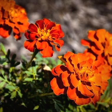 Fall Marigolds