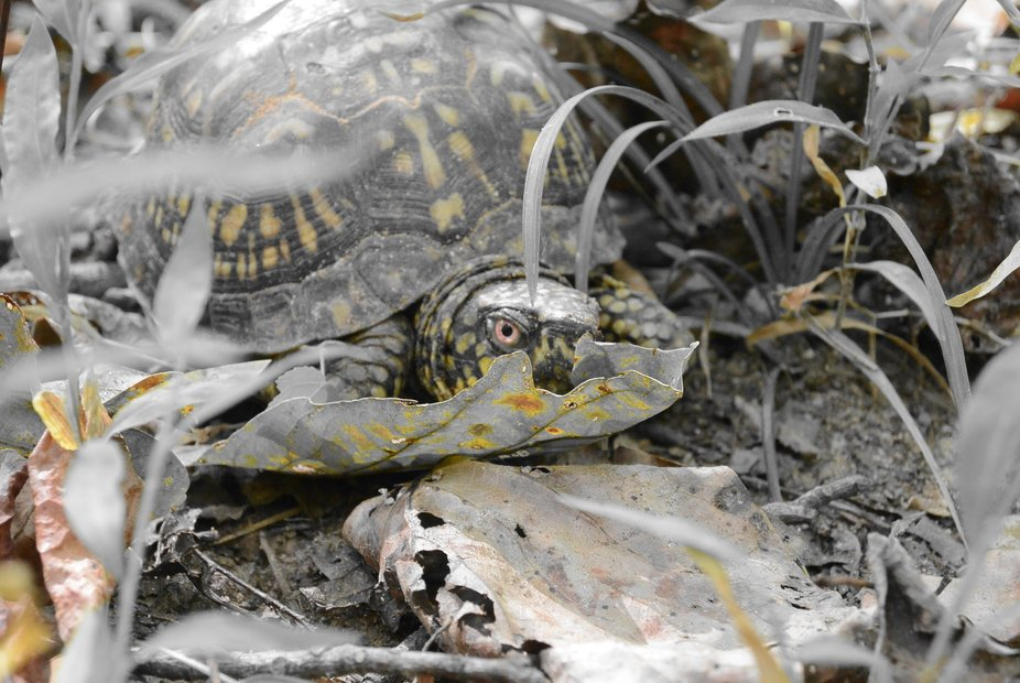 Every year this adorable box turtle would travel the same path to my backyard to hibernate. I dec...