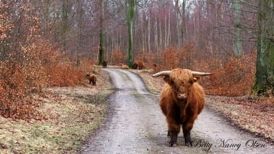 Higland Cattle.