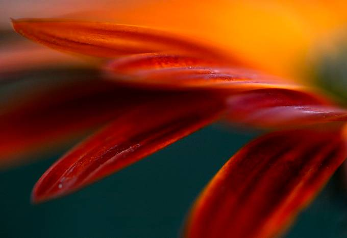 Flaming Red by MichelleStrydom - Colorful Macro Photo Contest