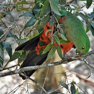 Lorikeet - Australian Fauna