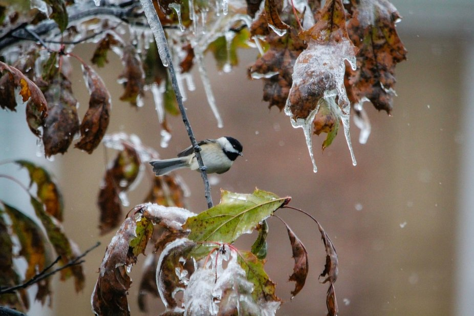 under a frosty weather this chickadee comes to eat at my feeder.