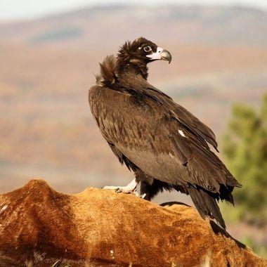 El buitre negro (Aegypius monachus) es el ave de mayor envergadura de Europa y cuando baja a comer desplaza al resto de los competidores.
