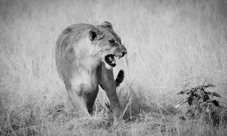 You dont want to get on the wrong side of this lion!