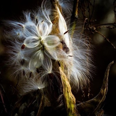 Windy day milkweed pods, the coma about to parachute away.  #trailsend #milkweed #windyday #wander #outthebackdoor #backyardnature #canon_photos #canonphotography #got_greatshots #ig_eternity ##zonephotographer #lensloves_nature #naturyst #shot_flair #poc