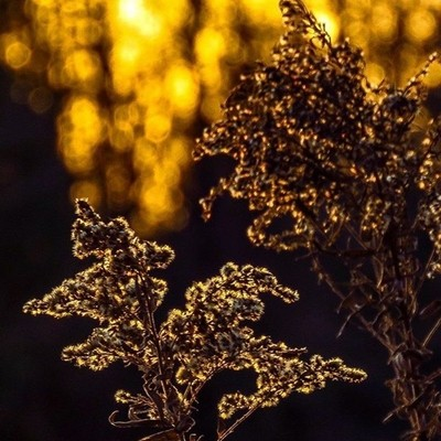 Goldenrod at sunset.  #trailsend #goldenrod #sunset #bokeh #lastlight #wander #outthebackdoor #backyardnature #canon_photos #canonphotography #ig_eternity #got_greatshots #pocket_allnature #raw_allnature #shot_flair #lensloves_nature ##ethereal_moods #fot