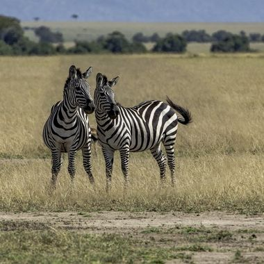Two Conspiring Zebras