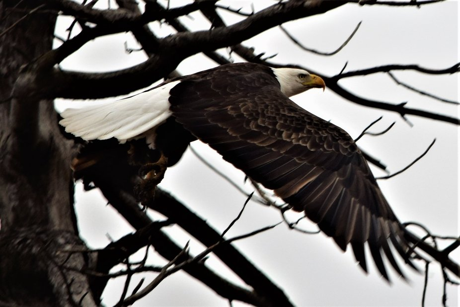West Central Iowa on a blustery day, this eagle takes flight, fighting the wind.