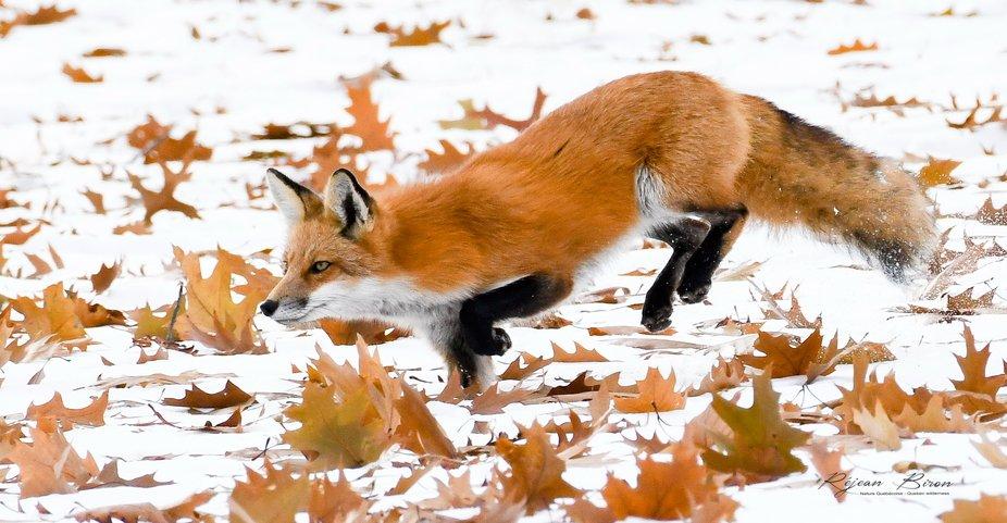 Renard roux a la chasse ! - Red Fox is hunting!   © Réjean Biron Tous droits réservés  - © R...