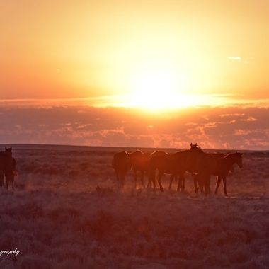 Wild Mustangs in the morning sunrise,
