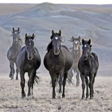 Wild Mustangs in the Wyoming Red Desert.