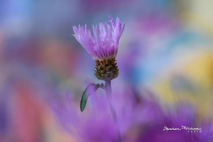 In purple by Barbora_Polivkova - Colorful Macro Photo Contest