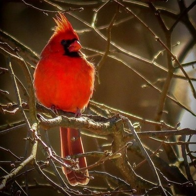 Northern Cardinal backlit on a cold day.  #trailsend #northerncardinal #birding #birdwatching #birdphotography #outthebackdoor #backyardnature #canon_photos #canonphotography #mybirdwatch #birdbrilliance #best_birds_of_world #best_birds_of_ig #pocket_bird
