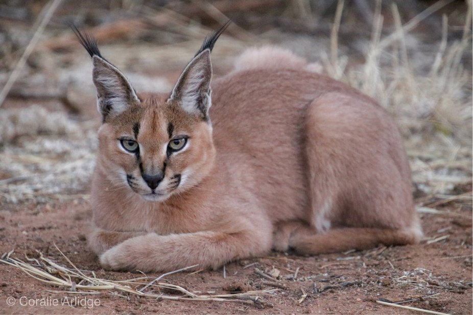 Caracal of Namibia