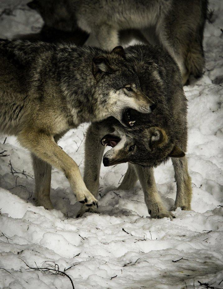 Timberwolves playing. by richardschneider - Winter Wildlife Photo Contest
