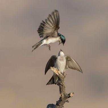 Tree Swallows -4082