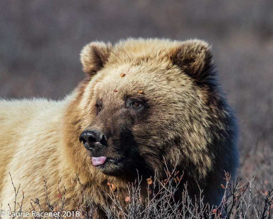 This bear was busy eating the last of the fall blueberries on the side of the road in Denali Nati...