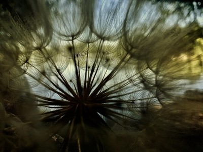 DANDELION FAN OF SEED HEAD AND HAIRY PAPPUS