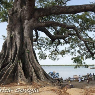 Ceiba o fomager arbol gigantesco de Senegal (Africa subsahariana, costa atlantica)
