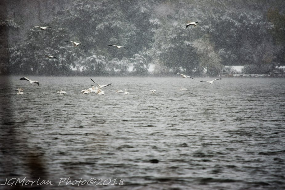 Our first measurable snowfall was on October 14, 2018.  It left the grounds snow white but luckily it didn't freeze the lake as I watched two huge pods of pelicans arrive during the snowstorm and land in the lake.