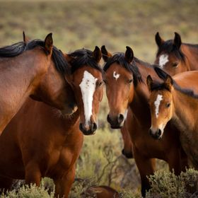 Wild Mustang herd listening to the stallion